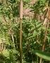 Bambusa multiplex 'Fernleaf Stripestem'