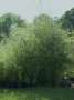 Phyllostachys bissetii 'Dwarf'