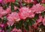 'Hampton Beauty'  Azalea