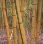 Phyllostachys viridis 'Robert Young'