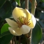 'Banana Shrub ' Michelia figo