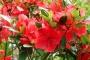 'Gumpo Red' Azalea