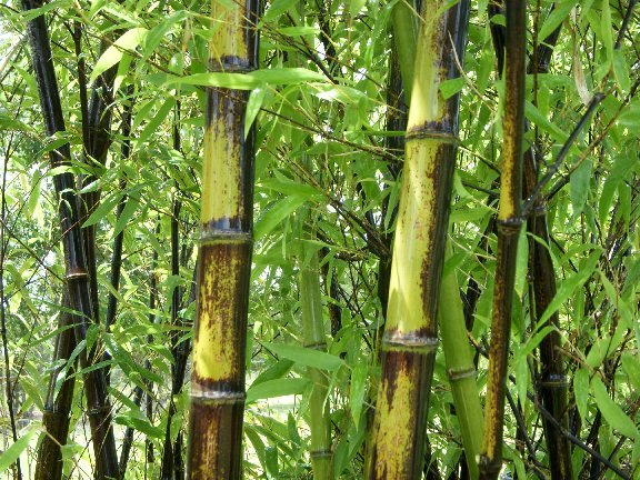 A beautiful form of black bamboo offered here at Bamboo Plantation Garden Center.
