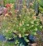 Abelia x grandiflora  'Glossy'
