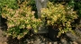 Abelia x grandiflora  'Frances Mason'  Gold