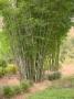 Bambusa chungii