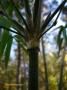 Bambusa distegia