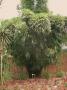 Bambusa dolichomerithalla 'Silver Stripe'