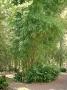 Bambusa emeiensis 'Flavidorivens'