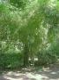 Bambusa emeiensis 'Viridiflavus'