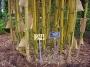 Bambusa eutuldoides viridivittata