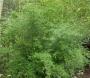Bambusa multiplex 'Fern Leaf'