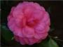 Camellia japonica 'Rose Dawn'