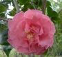 Camellia japonica Betty Sheffield 'Coral'