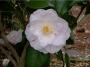 Camellia japonica 'Seiboldi Peppermint'