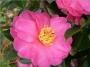 Camellia sasanqua 'Show no Sakae'