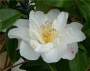 Camellia sasanqua ' White Dawn'