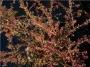 'Rockspray'  Cotoneaster horizontalis
