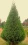 Cupressocyparis leylandii 'Leyland Cypress'