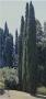 Cupressus sempervirens 'Italian Cypress' Tree