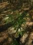 Indosasa crassiflora