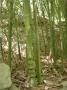 Phyllostachys aurea flavescens-inversa