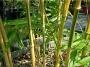 Phyllostachys bambusoides 'Castillon'