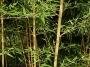 Phyllostachys bambusoides 'Allgold'