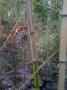 Phyllostachys sp. 'Natchez Green Stripe'