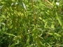 Phyllostachys stimulosa