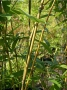 Pleioblastus amarus