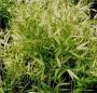 Pleioblastus chino 'Kimmei'