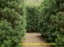 'Japanese Yew'  Podocarpus macrophyllus