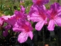 'Formosa Lavender' Indica Azalea