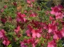 'Formosa Red'  Azalea