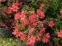 'Hino Crimson'  Azalea