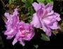 'Purple Ruffles'  Azalea