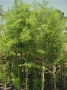 Taxodium ascendens 'Pond Cypress'