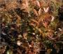 'Cleyera' Ternstroemia gymnanthera