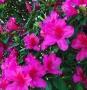 'Formosa Pink' Indica Azalea