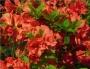 'Hershey's Red'  Azalea