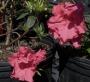 'Red Ruffles' Azalea