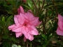 'Macrantha Pink'  Azalea