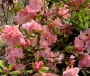 'Pink Pearl'  Azalea