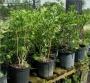 'Sweet Olive'  Osmanthus fragrans