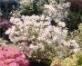 'Hardy Gardenia' Azalea