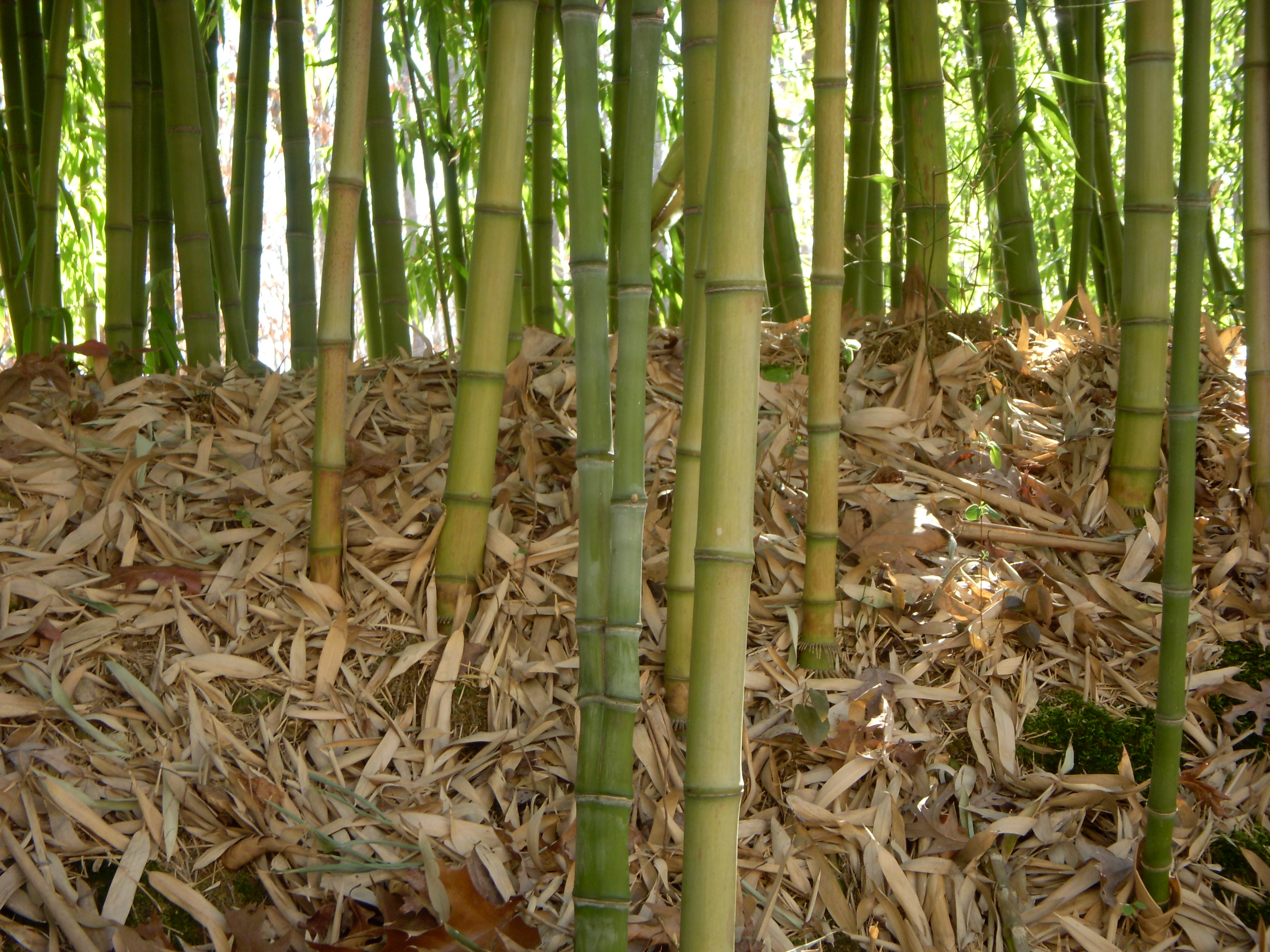 conjoined_phyllostachys